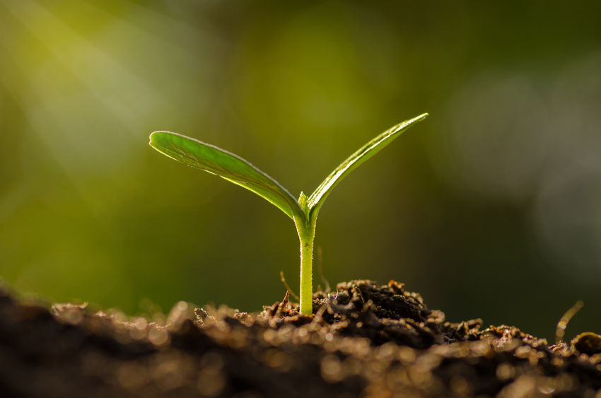 34598430 - plant, agriculture, seeding,seedling, close up young plant growing over green background